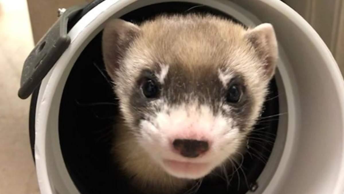 У США клонували тварину, яку вважали вимерлою: фото, відео