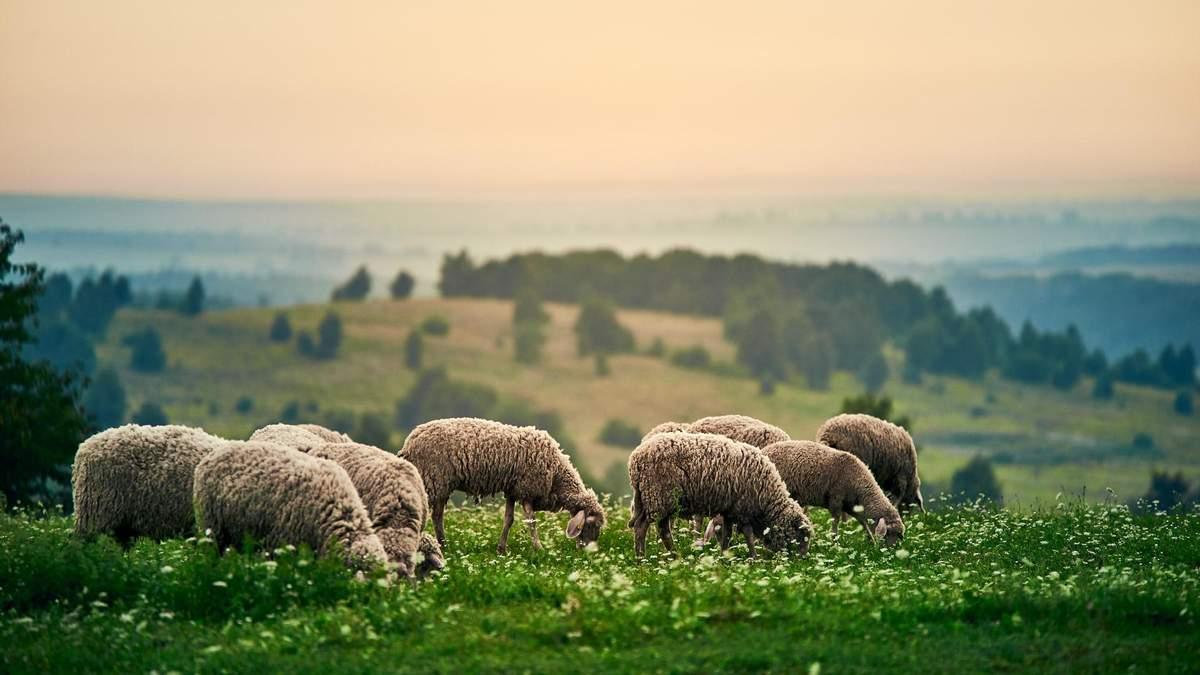 Супруги покинули бизнес в Луцке, чтобы создать овечью ферму: видео