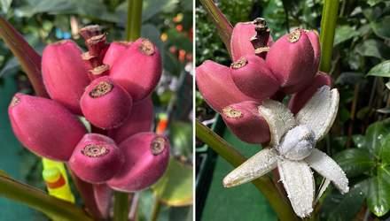Тропики в Запорожье: украинка выращивает экзотические розовые бананы – фото