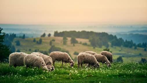 Супруги покинули бизнес в Луцке, чтобы создать овечью ферму: история вдохновляет