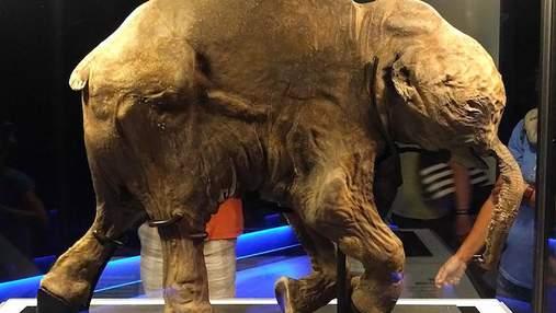 Ей почти 42 тысячи лет: история удивительно сохранившегося шерстистого мамонта по имени Люба
